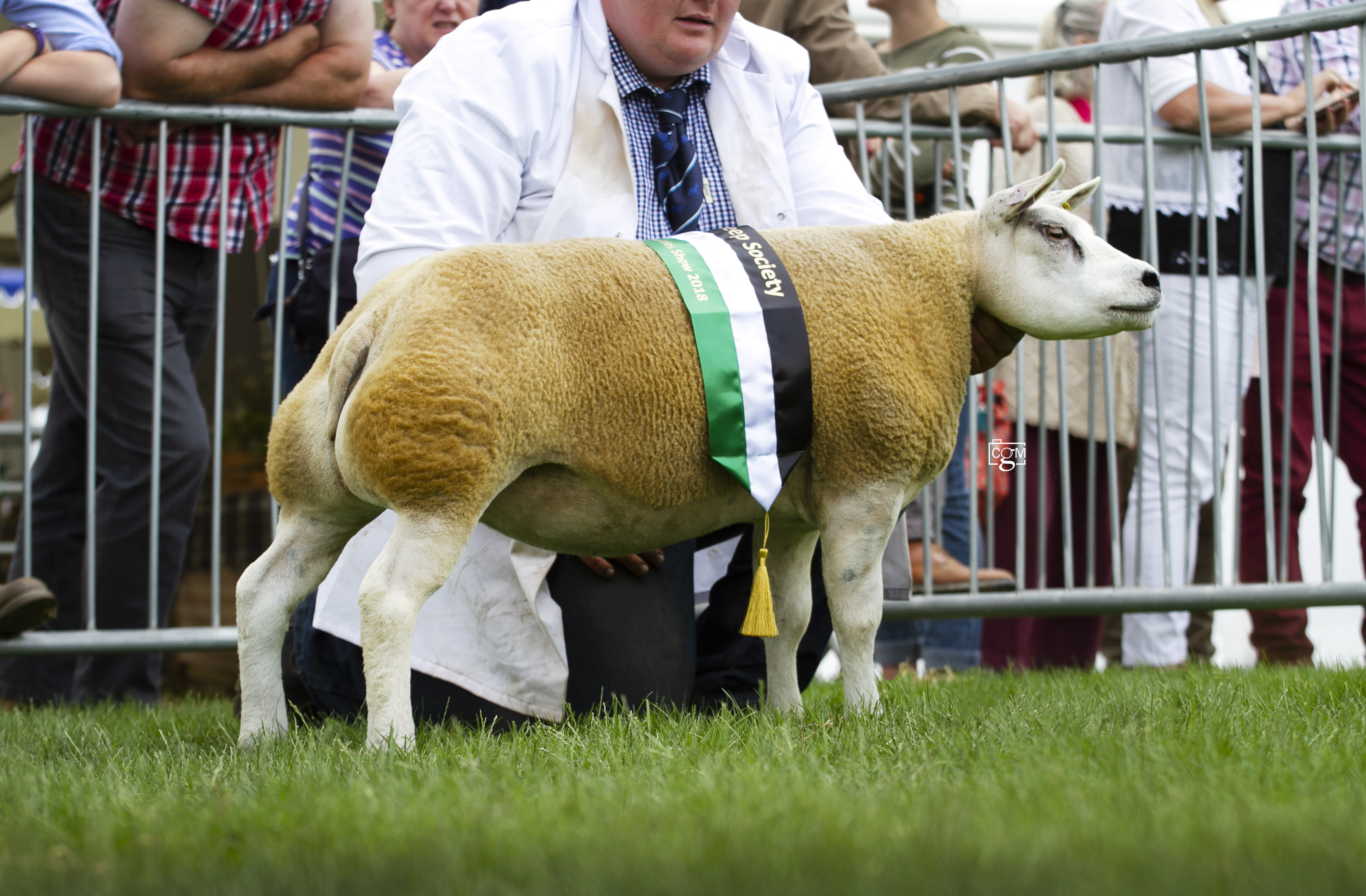 Beltex-100-shearling-ewe-overall-champion-Tippetts-9152