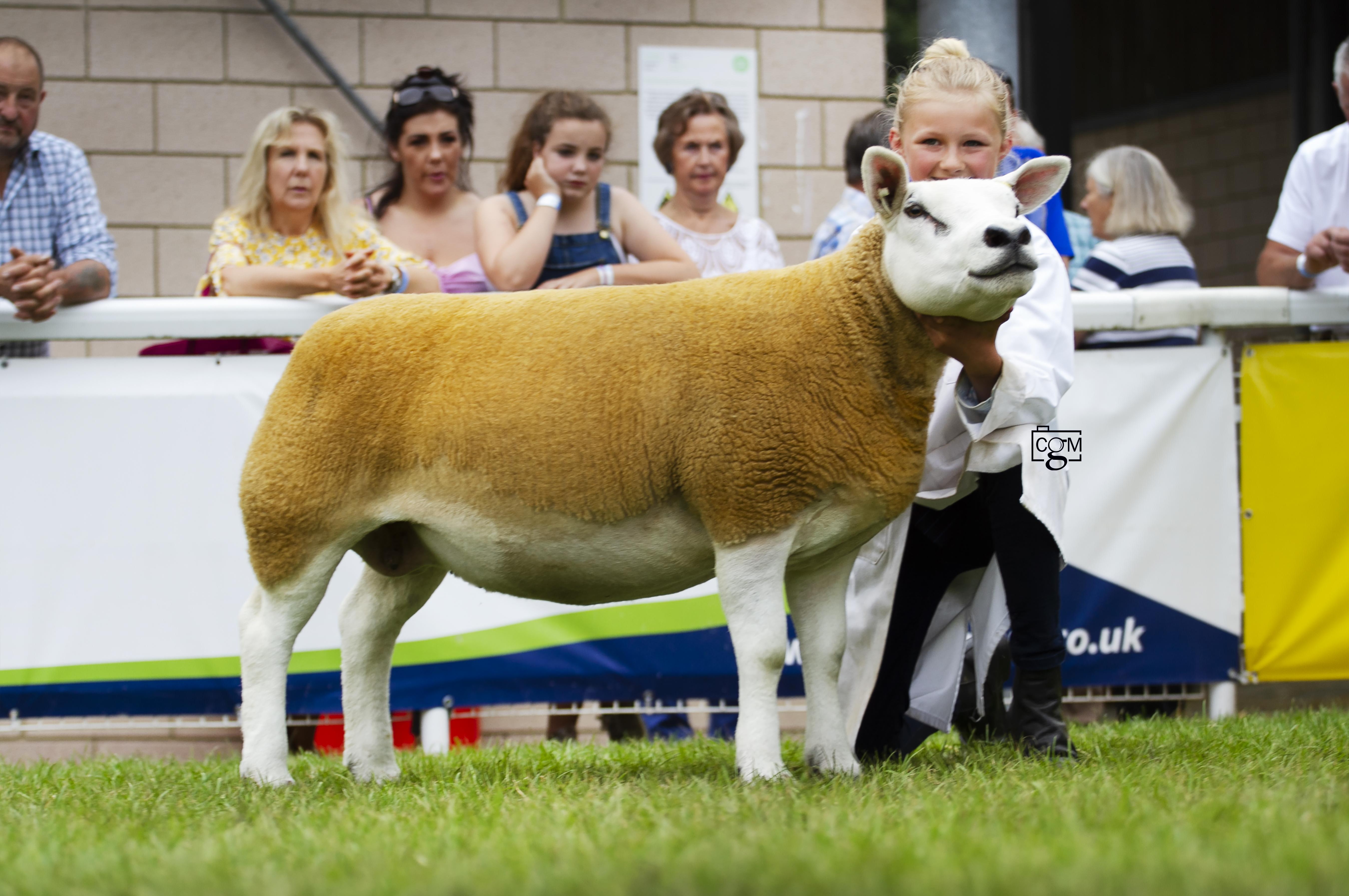 Texel-aged-ewe-9836