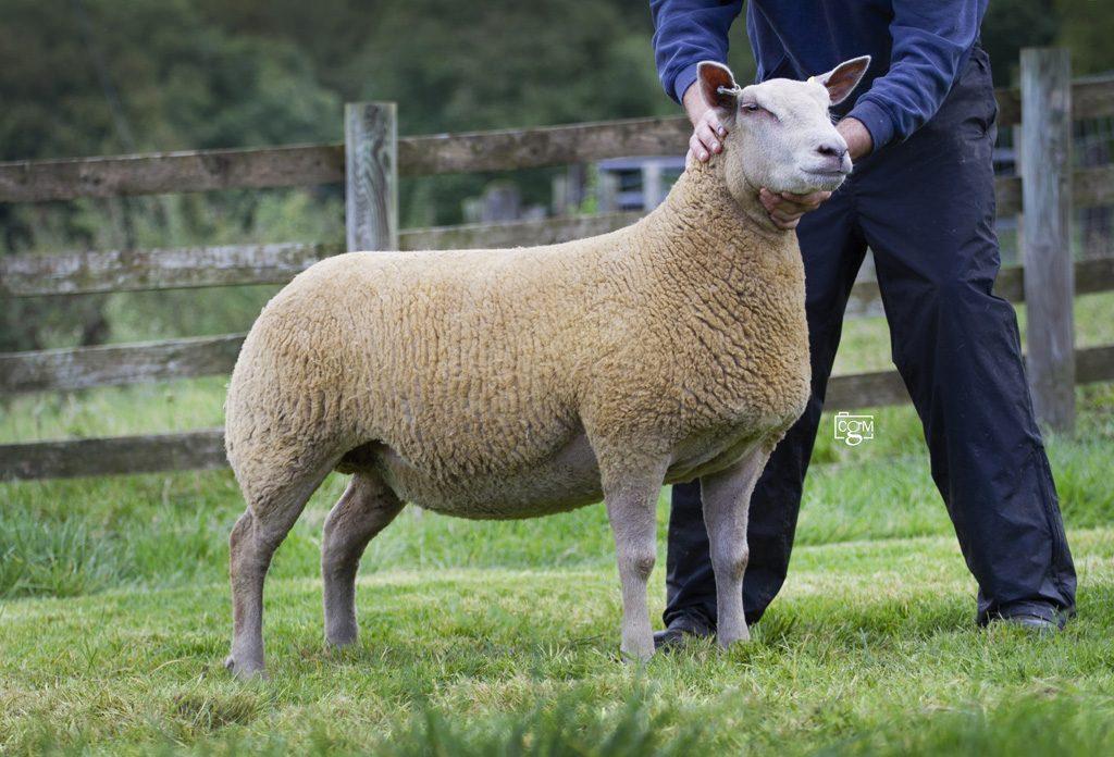 Ewe-Lamb-2-19XEV01489-6392