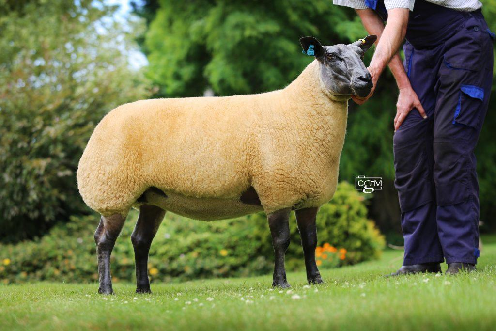 Bleu-shearling-ewe-306-E93A3266